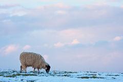 Single sheep on a snowy hilltop Royalty Free Stock Photos