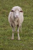 Ewe Sheep standing in the field Royalty Free Stock Image