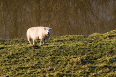 Single sheep in sunlight Stock Photography