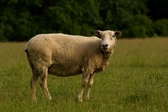 Single sheep turned and looking at the camera. Royalty Free Stock Photos