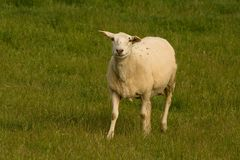 Single sheep turned and looking at the camera. Royalty Free Stock Photo