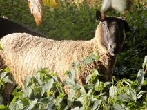 Single Sheep in Undergrowth Royalty Free Stock Photography