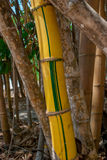 Single shoot of painted yellow bamboo. A bright yellow and green stalk of bamboo in a giant painted bamboo forest royalty free stock photo