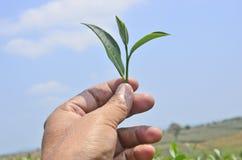 Single showing tea bud Royalty Free Stock Image