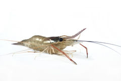 Single Shrimp Stock Photos