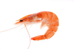 Single shrimp Royalty Free Stock Photo