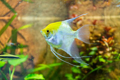 Single Silver and Yellow Angel Fish in Aquarium Stock Photos