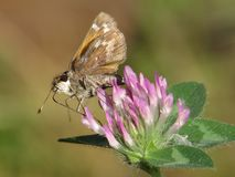 Single Skipper Butterfly Gathering Nectar Red Clover Stock Photos