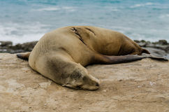 Single Sleeping Sea Lion on Rocks. With evidence of a healed scar Royalty Free Stock Photography
