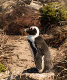 Single small baby penguin at Bettys Bay Royalty Free Stock Images