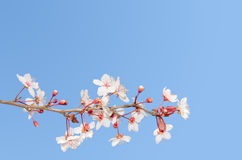 Single small branch of blooming cherry tree Royalty Free Stock Photos