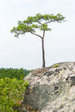 Single small pine tree grow on a cliff. One lone pine tree grow on a cliff in summer Stock Image