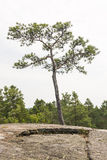 Single small pine tree grow on a cliff. One lone pine tree grow on a cliff in summer Stock Photos