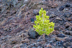 Single small pine tree in rock nature Stock Photography