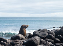 Single small seal on rocks by beach Stock Image