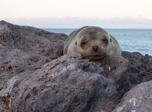Single small seal on rocks by beach Royalty Free Stock Photos