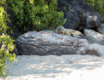Single small seal on rocks by beach Stock Photo