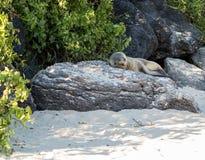Single small seal on rocks by beach Stock Photo