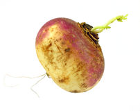Single Small Turnip Royalty Free Stock Image