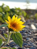 Single small yellow sunflower on lakeshore beach Royalty Free Stock Image