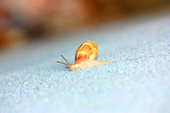 Single snail crawling on a wall Stock Photography