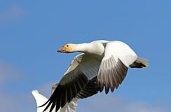 Single Snow Goose in Flight, British Columbia, Canada Royalty Free Stock Images