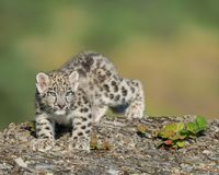 Snow leopard cub Stock Photography