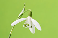 Single snowdrop Royalty Free Stock Image