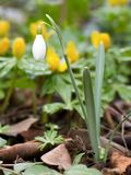 Single Snowdrop Stock Image
