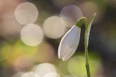 A single snowdrop in the Old Cemetery Southampton Common Stock Photography