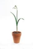 Single snowdrop in terracotta pot. A single snowdrop in a terracotta plant pot on a white background Stock Photos