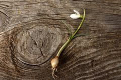 Single snowdrop on wooden background. Stock Photo