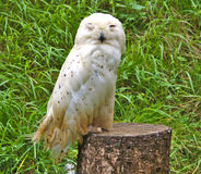 Single snowy owl or Bubo Scandiacus Royalty Free Stock Images