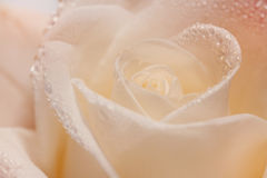 Single soft rose flower with dew drops close up Stock Images