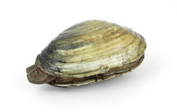Single soft-shell clam from polluted mud flat Stock Photo
