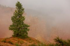 Single solitary pine tree in the fog in bryce canyon national park royalty free stock image