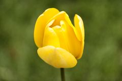 Single yellow tulip against a green background stock photography
