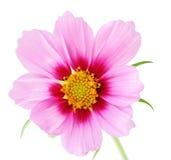 Single Sonata flower. Isolated on white background royalty free stock image