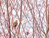 Single Song Sparrow in Trees. A single Sing Sparrow (Melospiza melodia) in a bramble of trees stock photo