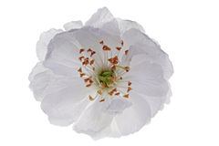 Single sour cherry blossom. Isolated single sour cherry blossom Royalty Free Stock Photography