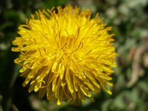 Single sow-thistle. Sonchus asper in close-up Stock Images