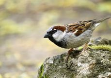 Single sparrow Royalty Free Stock Photo