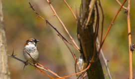 Single sparrow on branch. Looking right stock images