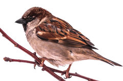 Free Single Sparrow On Tree Branch Royalty Free Stock Photography - 72665877