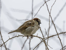 Single sparrow sitting on leafless thorny twig Stock Images