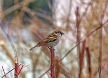 Single sparrow sitting on a single vertical red twig Stock Images