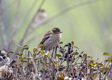 Single sparrow sitting on top of a hedge Stock Image