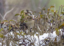 Single sparrow with smeared berries in its beak Stock Photography