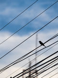 Single Sparrow Stands on an Oblique Wire. The Single Sparrow Stands on an Oblique Wire Stock Images