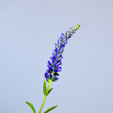 Single Spiked Speedwell Stock Image